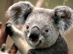 CIKK_Koala.jpg